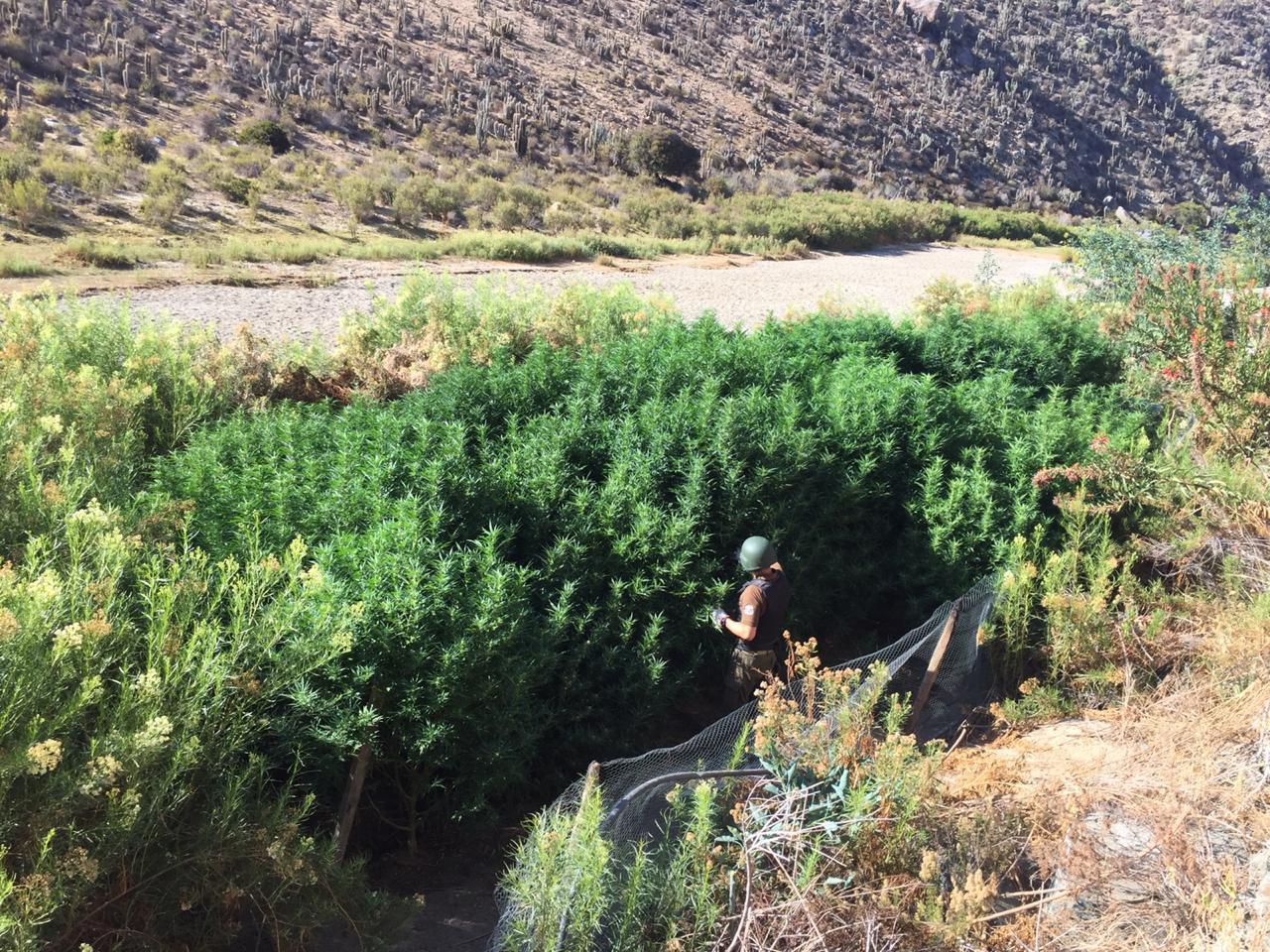 Carabineros decomisa 2300 millones de dosis cannabis sativa en provincia de Limarí.